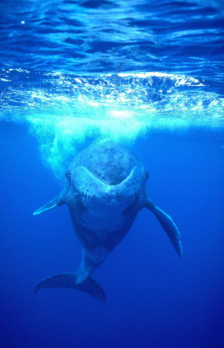 Bébé Bleu, hybride d'un père baleine bleue et d'une mère baleine à bosse